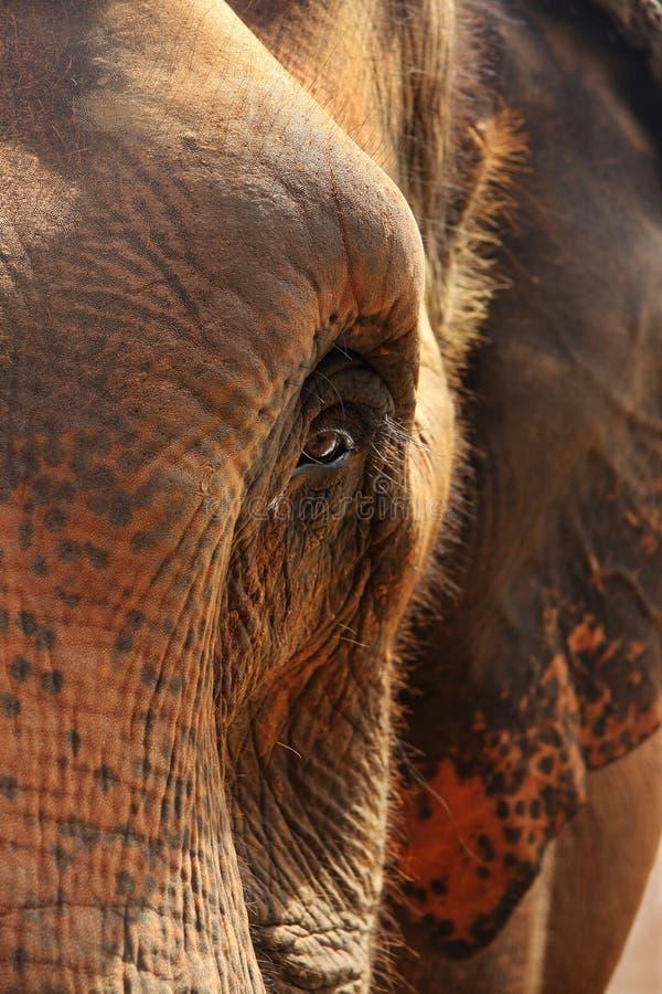 близкий портрет слона вверх стоковое фото
