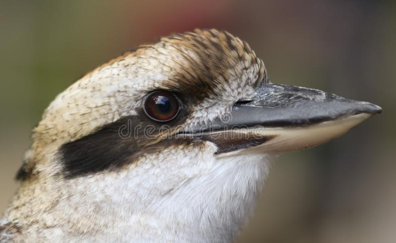 Близкий портрет смеясь Kookaburra стоковые фотографии rf