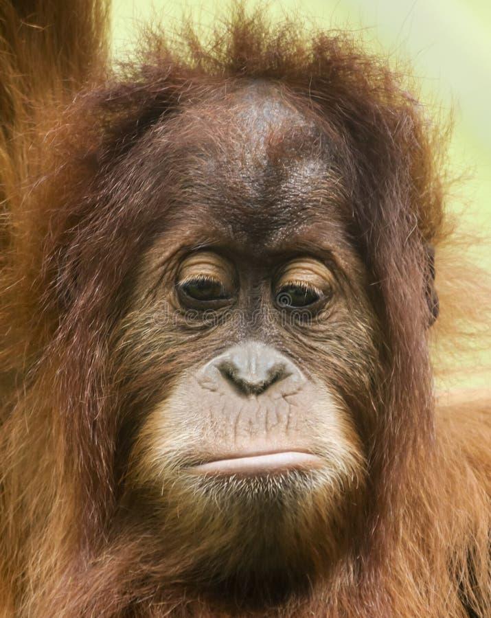 Близкий портрет унылого молодого орангутана стоковое фото rf