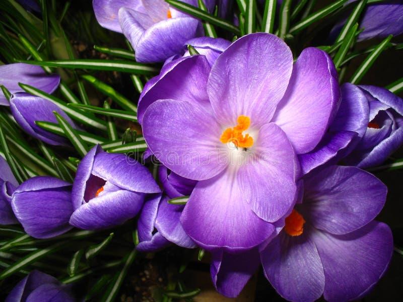близкий пурпур цветка крокуса вверх стоковое фото rf