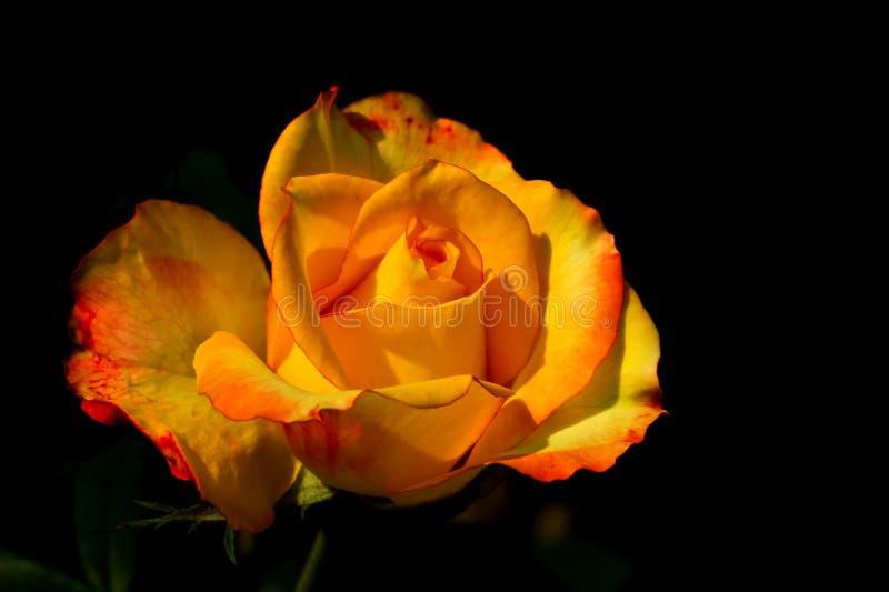 близкий розовый поднимающий вверх желтый цвет стоковое фото