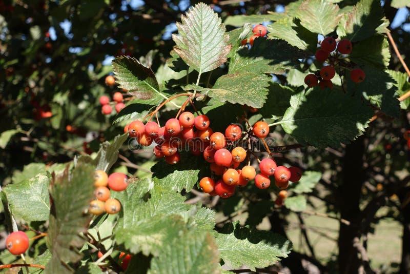 Близкий снимок corymb оранжевых ягод арии рябины стоковые фотографии rf