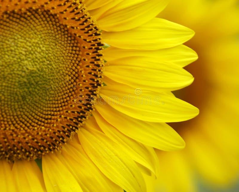 близкий солнцецвет вверх стоковая фотография
