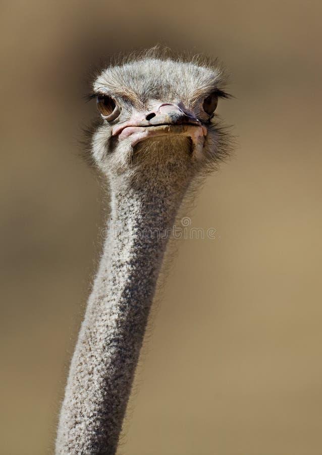 близкий страус naukluft namib mts пустыни вверх стоковое фото rf