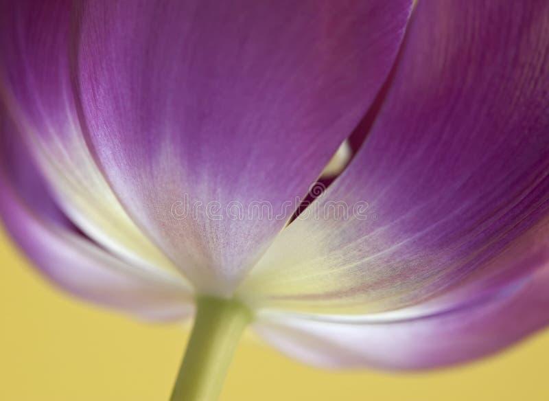 близкий темный розовый тюльпан вверх по желтому цвету стоковое фото