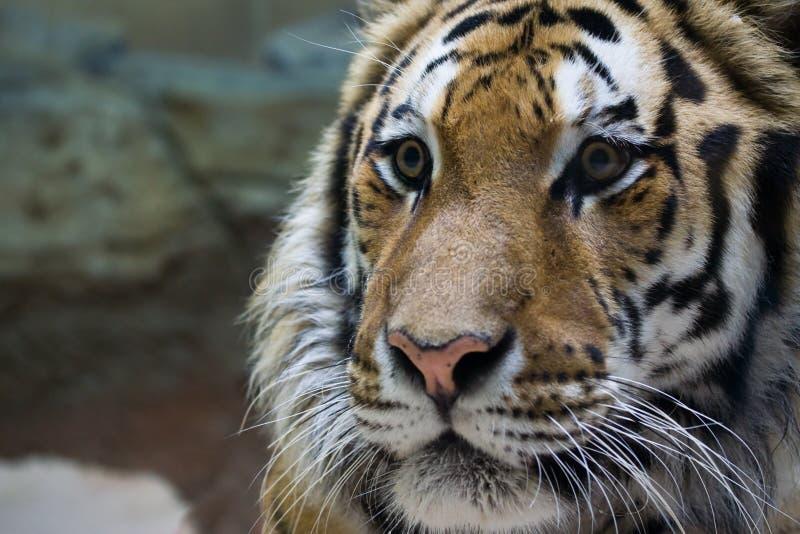 близкий тигр вверх стоковая фотография