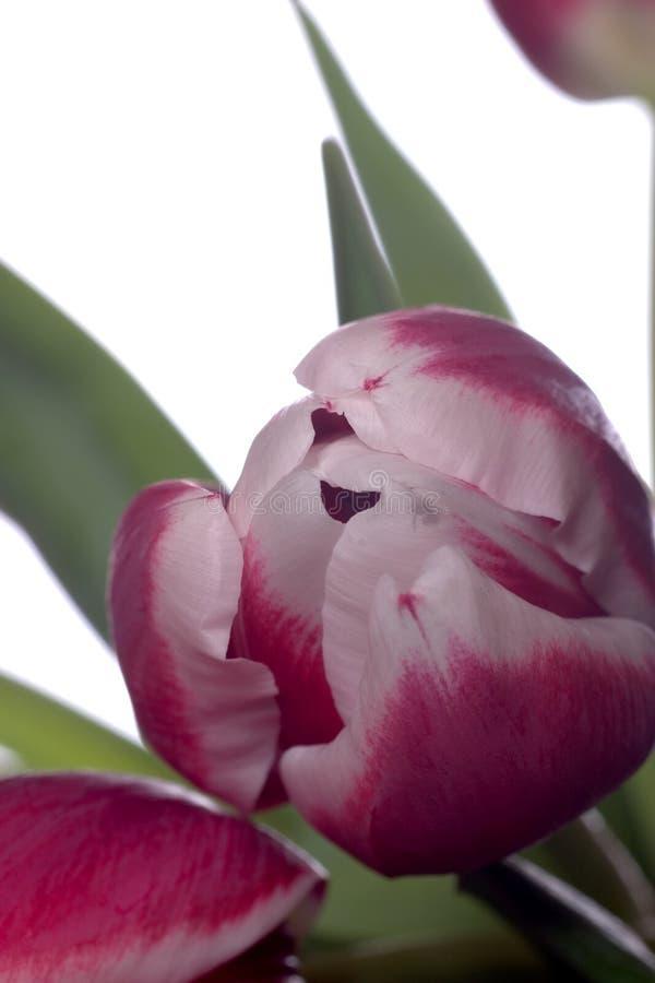 близкий тюльпан вверх стоковая фотография