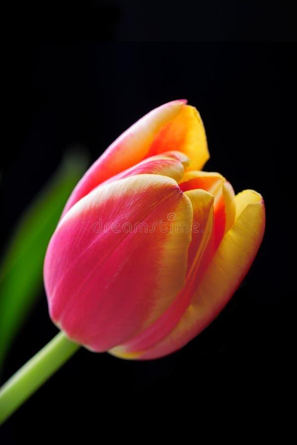 близкий тюльпан вверх стоковые изображения