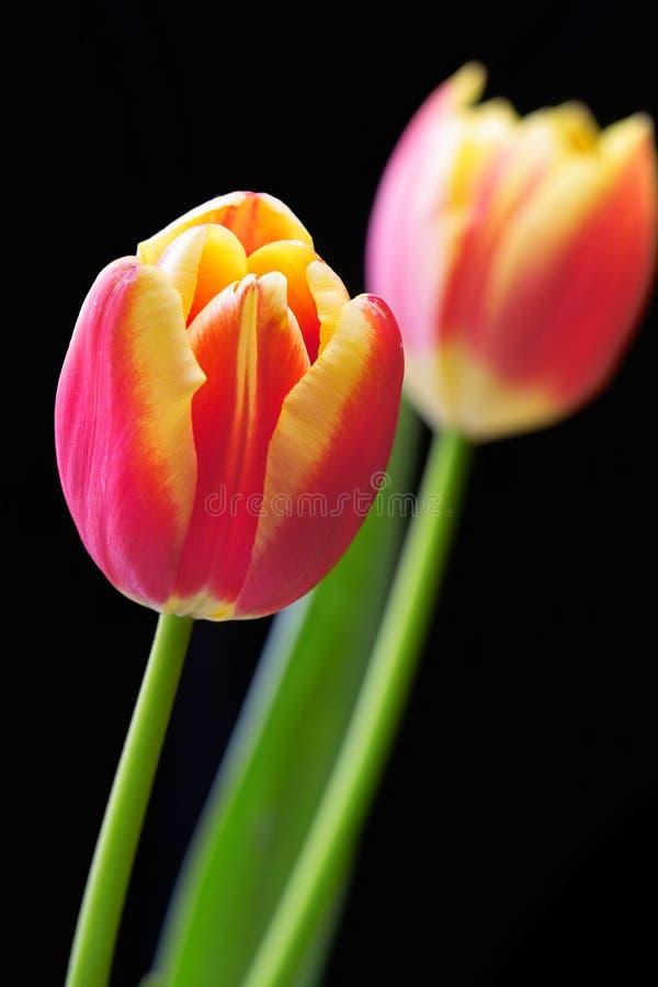 близкий тюльпан вверх стоковое изображение rf