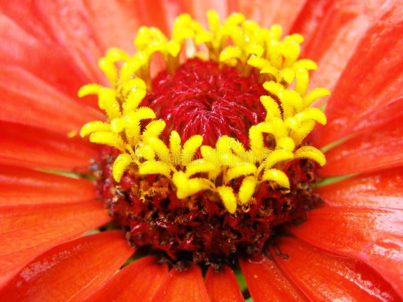 близкий цветок вверх по zinnia стоковые изображения rf