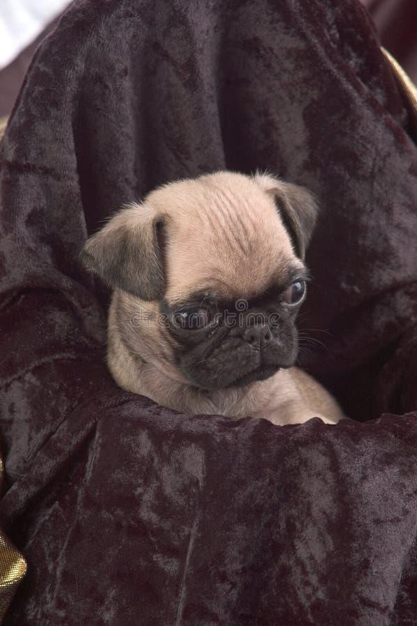 близкий щенок pug вверх стоковые фото