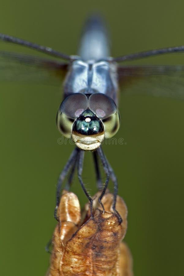 близкий Dragonfly вверх Стоковые Изображения RF