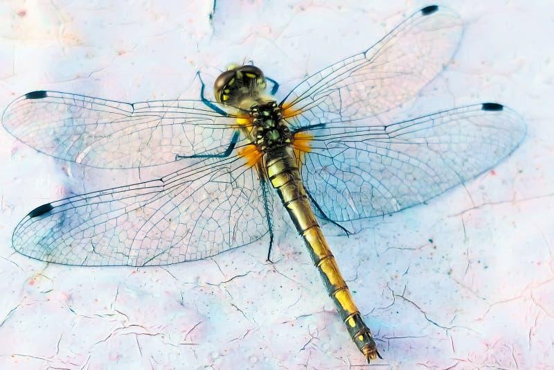 близкий dragonfly затеняет вверх по крылам стены стоковые фотографии rf