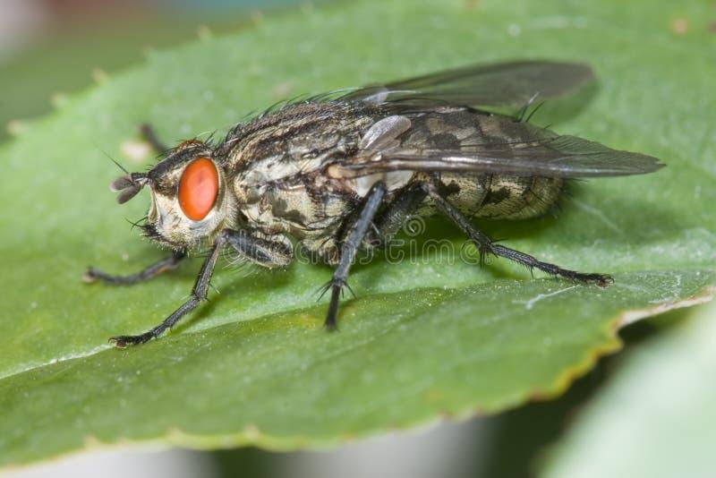 близкий housefly вверх стоковое изображение rf