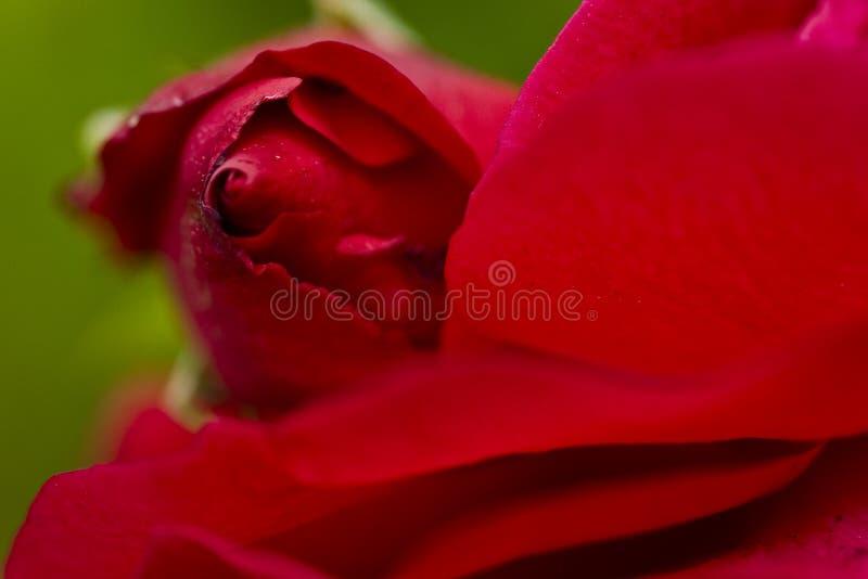близкое красное розовое поднимающее вверх стоковые фотографии rf
