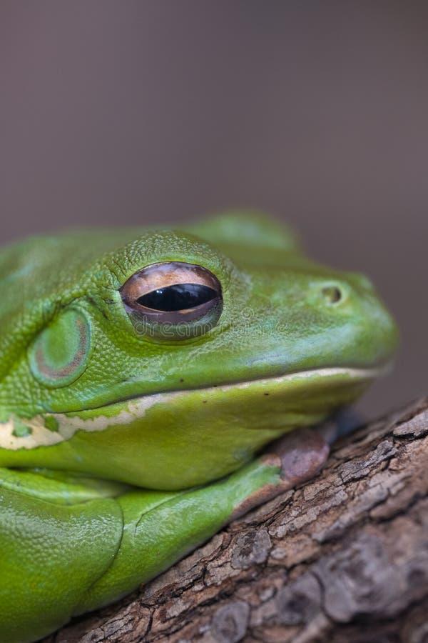 Зеленая древесная лягушка стоковое фото rf
