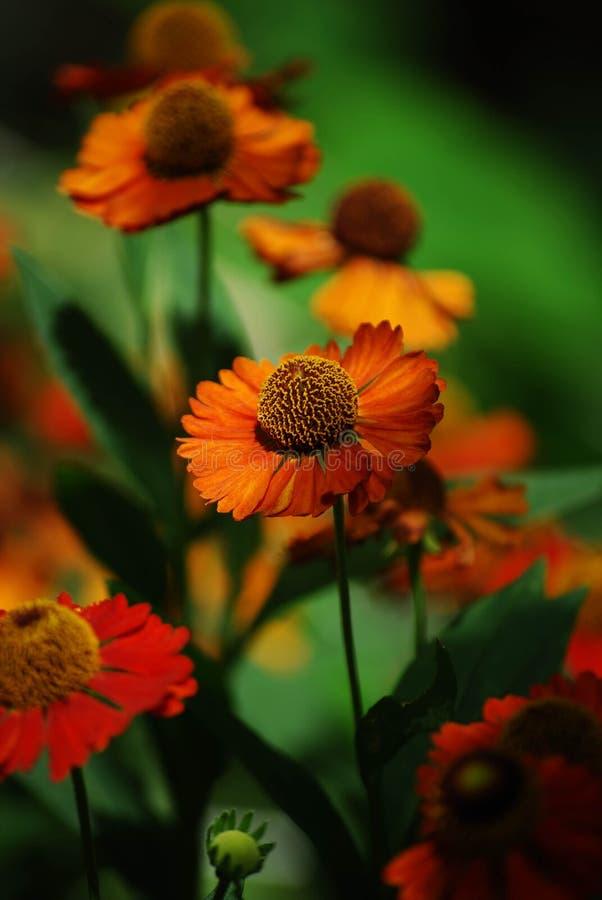 Близкое поднимающее вверх фото hirta Rudbeckia, желтого цветка оранжевого coneflower стоковая фотография