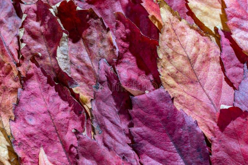 Близко вверх, упаденные кленовые листы осени красные стоковые фотографии rf