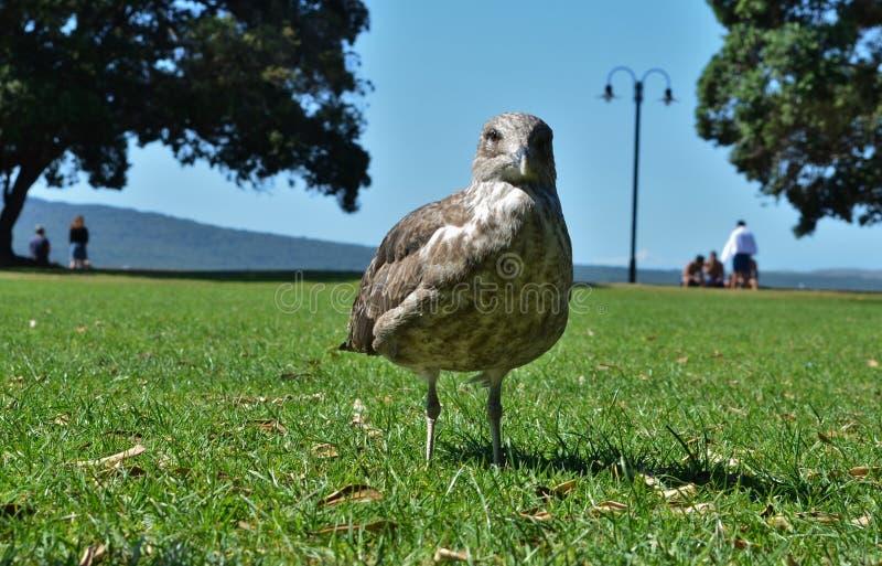 Близко к коричневому чайку на зеленой траве стоковые фотографии rf
