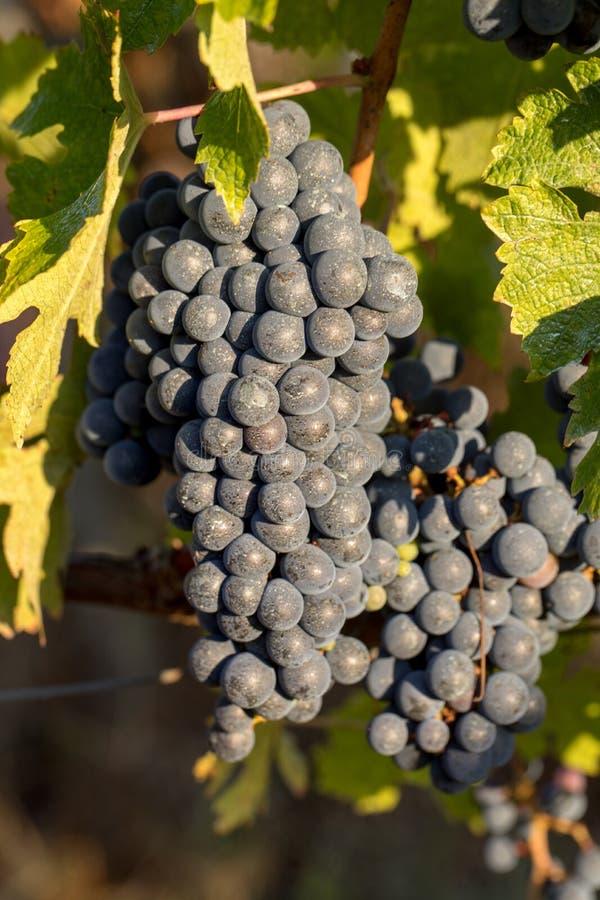 Близко к красному винограду в винограднике Медок, Жиронда, стоковое изображение rf