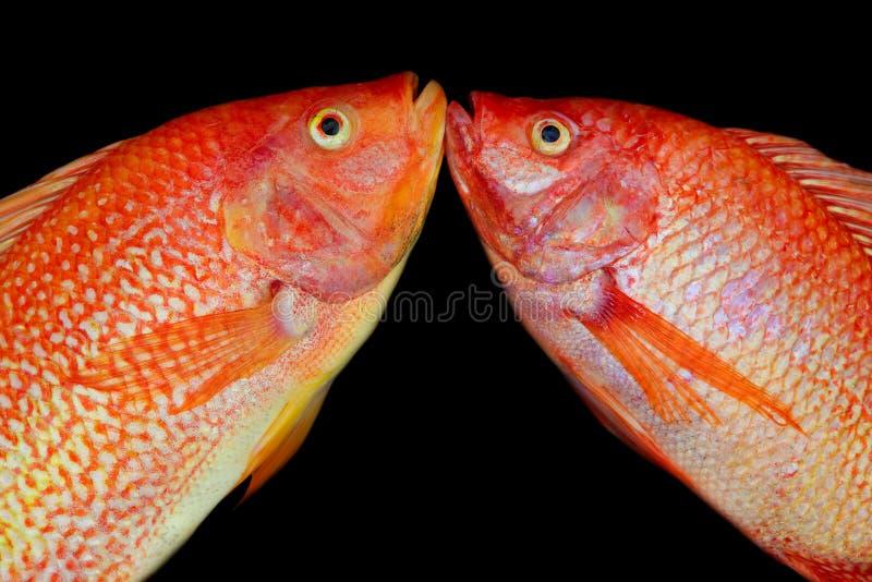 Близко к паре азиатской ярко-оранжевой красной тилапии стоковая фотография rf