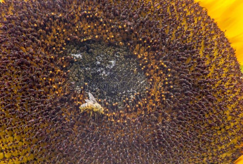 Близко к цветущему солнцу с пчелой, покрытой пыльцей Гелиотроп & x22;Гелиантус аннуус стоковые изображения rf