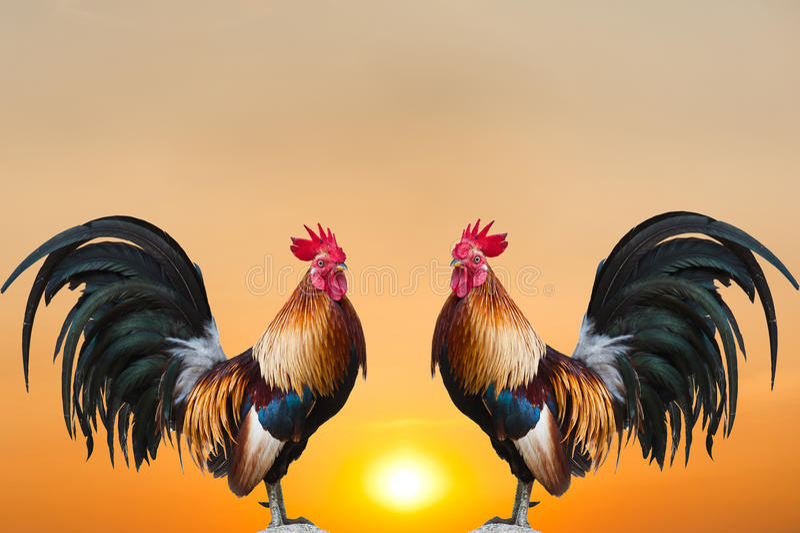 близнец восхода солнца петухов стоковые фото