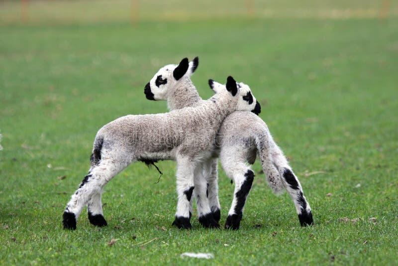 близнец овечки newborn стоковые изображения
