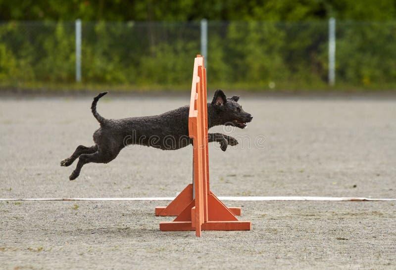 Блэк-дог прыгает по тропе тренировки по ловкости стоковые фотографии rf