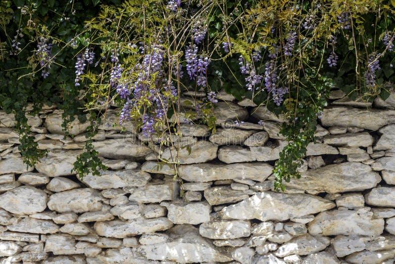 Бобовые глицинии завода растет и зацветает на весенний день стоковое фото rf