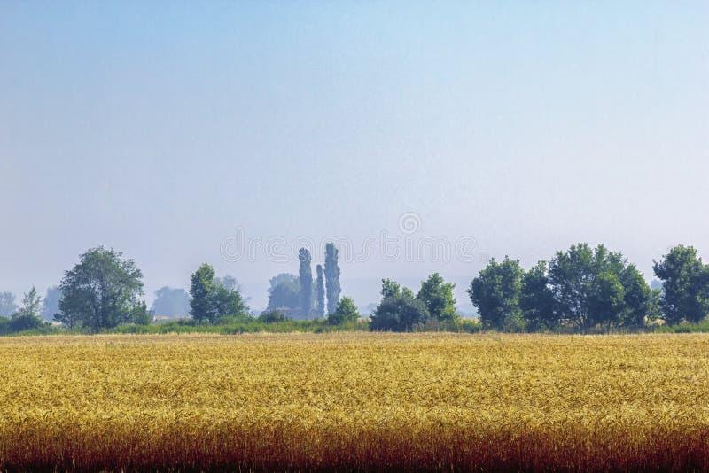 Богатое и плотное поле вполне рож, пшеницы или ячменя видимо около желтого выгона с плотным лесом на заднем плане стоковые изображения