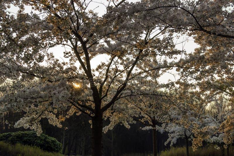 Богато blossoming сад вишневого дерева с throug солнца сияющим стоковые фотографии rf