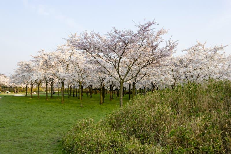 Богато blossoming сад Сакуры при солнце светя стоковая фотография rf