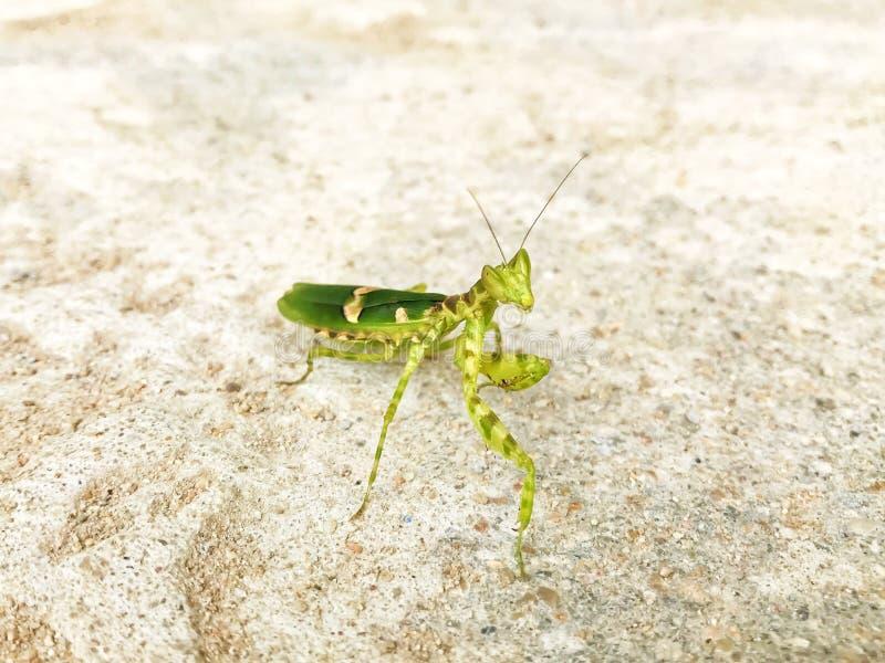 Богомол или Mantis Religiosa с Striped положением на поле цемента стоковое фото