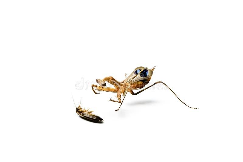Богомол и таракан изолированные на белой предпосылке стоковая фотография