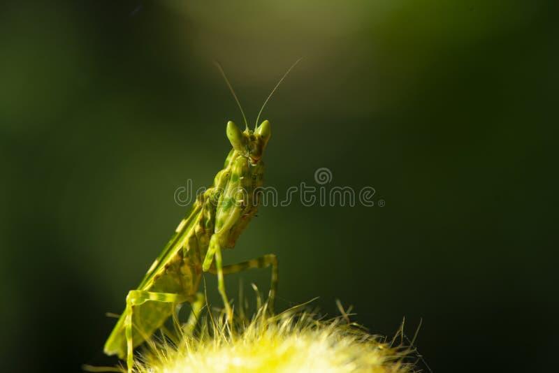 Богомол крайности близкие поднимающие вверх или Mantis Religiosa, задняя часть природы стоковое изображение