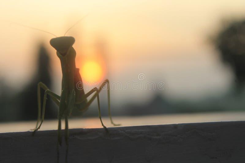 Богомол на восходе солнца стоковые изображения rf