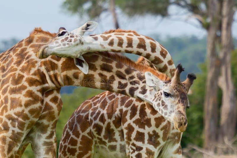 Бой быков жирафа Masai стоковое фото