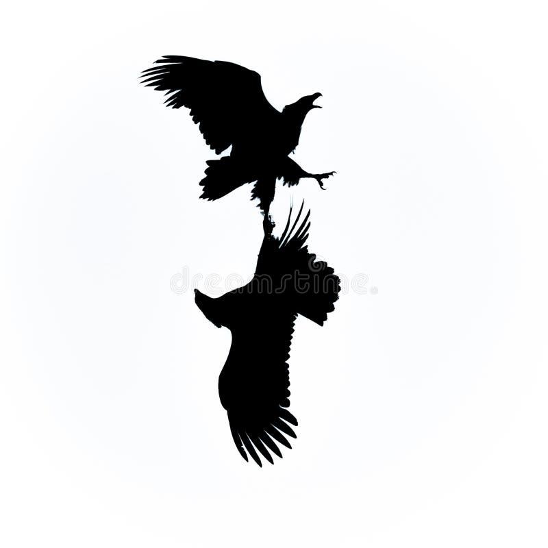 Бой орлов моря стоковое фото rf
