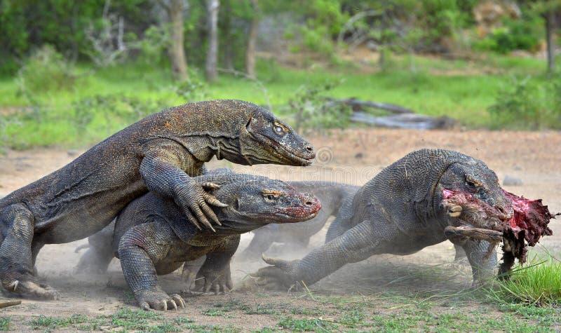 Бой драконов дракона Komodo для добычи Дракон Komodo, komodoensis Varanus стоковое изображение
