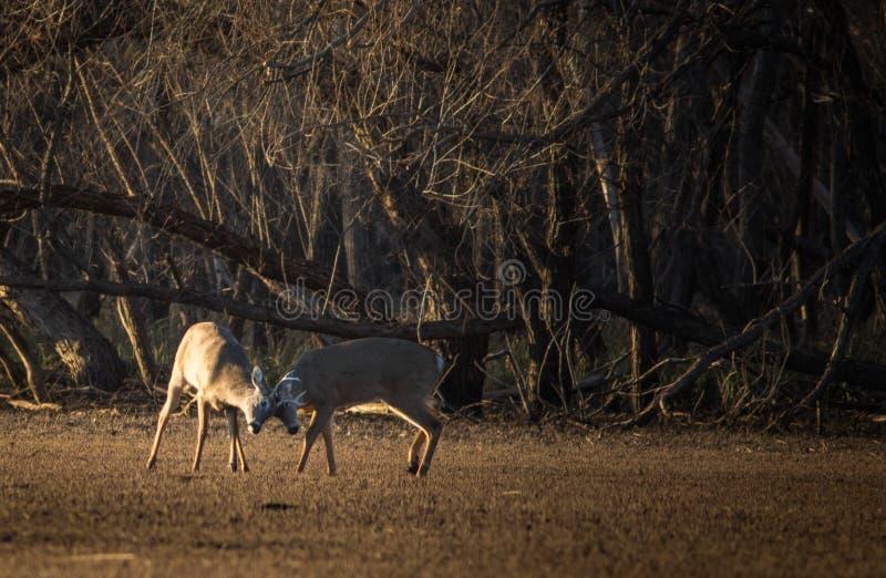 Бой 2 самцов оленя для их места стоковая фотография