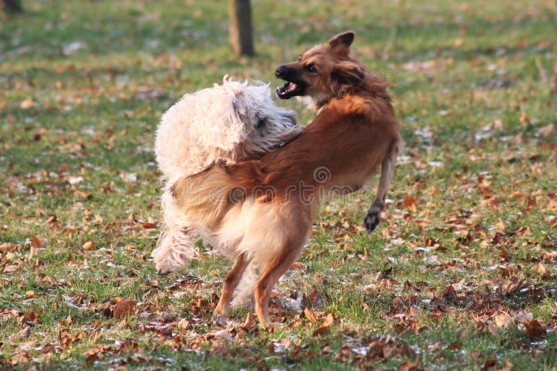 Download бой собаки стоковое фото. изображение насчитывающей rollerskating - 486678