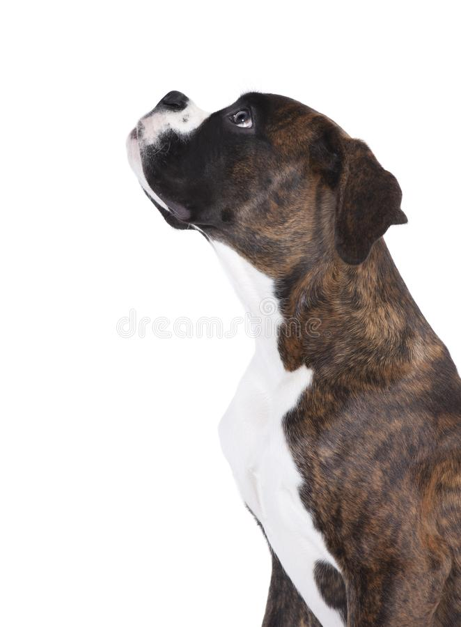 Боксер смотрит вверх стоковое изображение