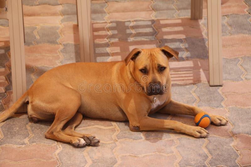 Боксер - собака укрытия, потребности семья стоковое изображение