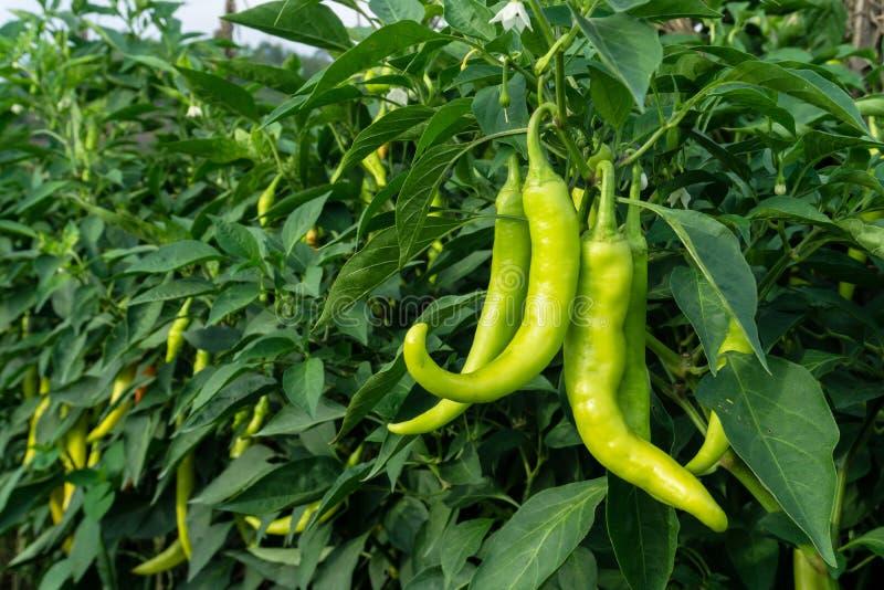 Болгарский перец на дереве, засаженном совместно как сад chili, имеет стоковое изображение rf