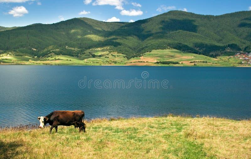 болгарское milka коровы стоковое изображение rf