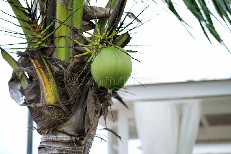Более близкий кокос на кокосовой пальме стоковое фото rf