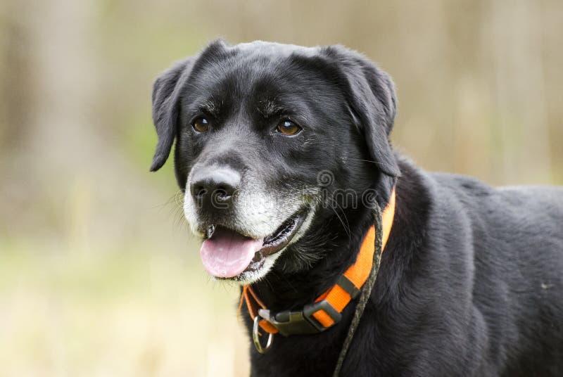 Более старая черная собака Лабрадора Retreiver с серым воротником апельсина намордника и охотника стоковые изображения rf