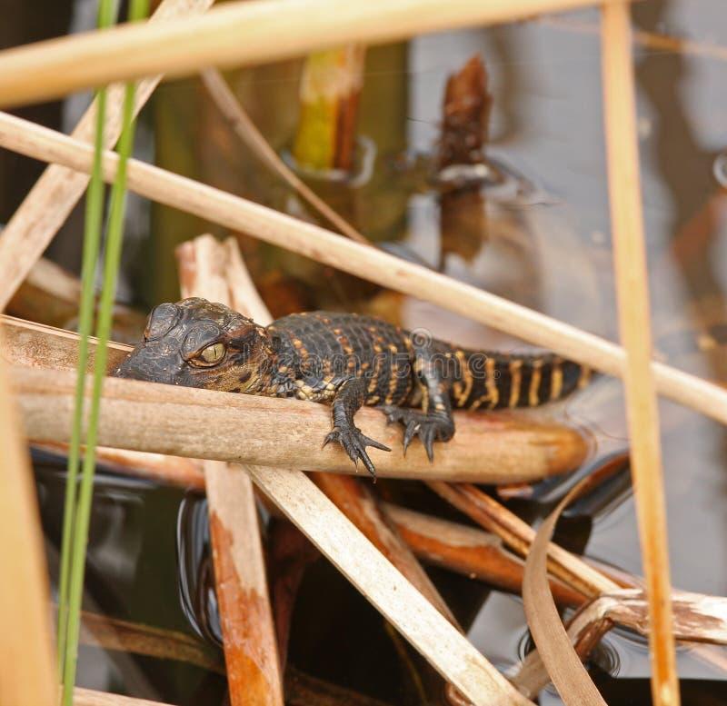 болотистые низменности florida младенца аллигатора стоковые изображения