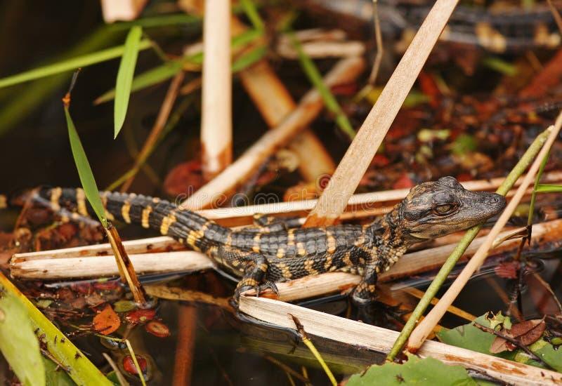 болотистые низменности florida младенца аллигатора стоковое фото rf